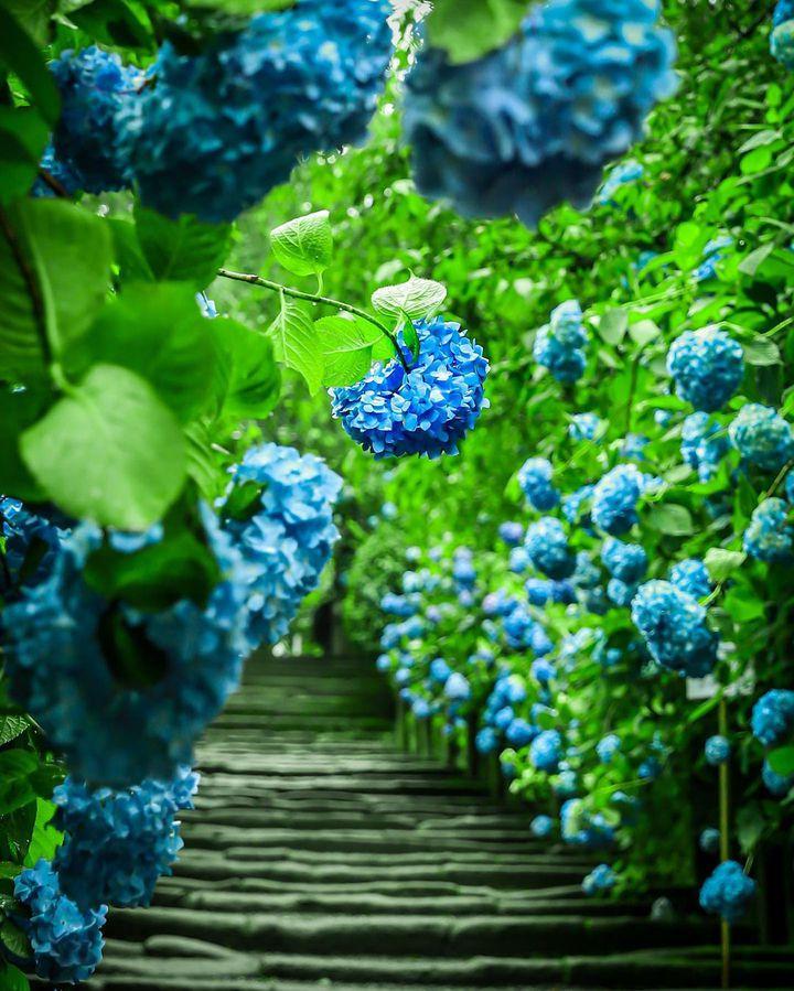 """雨降る季節、鎌倉日和。水に濡れて美しさを増す""""鎌倉の紫陽花スポット""""10選"""