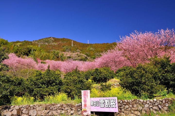 運が良ければ雪と桜のコラボが楽しめる「雪割り桜」とは?