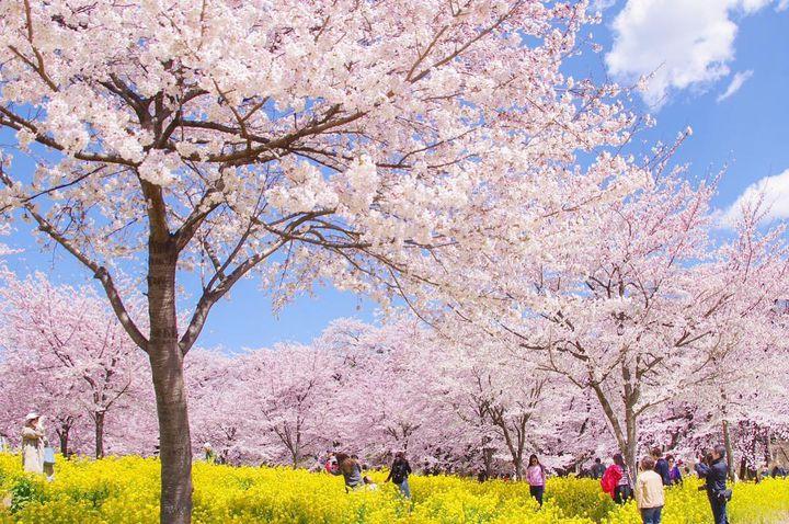 私も「花の雲」とやらを見て感じたい!全国のお花見スポットLIST