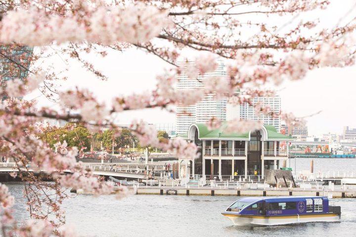 桜のトンネルをくぐり抜ける船上でのお花見。横浜にて『大岡川桜クルーズ』運航!