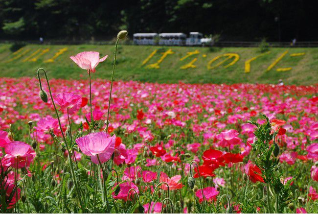 【開催中】三浦半島内で最大級!横須賀にて「ポピー・ネモフィラシーズン」開催