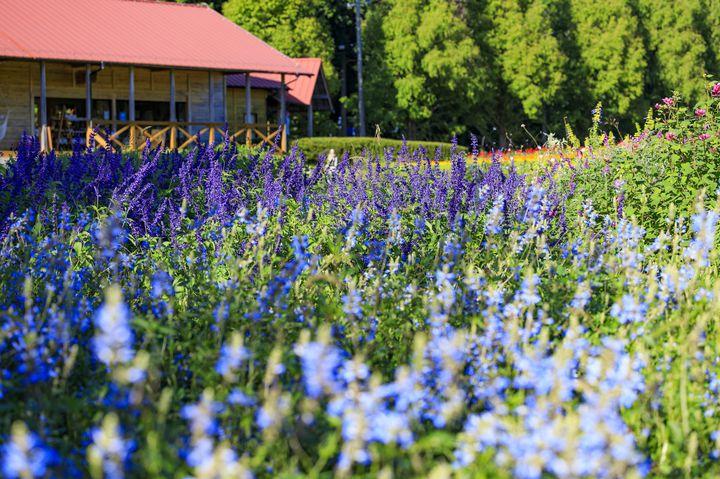 【終了】まるで薄紫色の絨毯。三重の「メナード青山リゾート」にて「ラベンダー2021」開催!